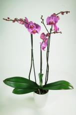 Orchidée Mauve 3 branches - Phalaenopsis