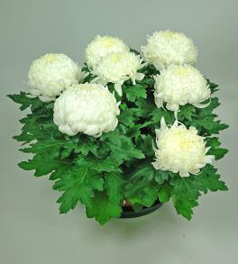 Chrysanthème à têtes blanches