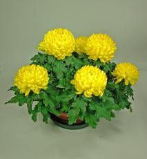 Chrysanthème à têtes jaunes