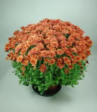 Chrysanthème pomponnette rouge