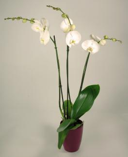 Orchidée Blanche 3 branches - Phalaenopsis