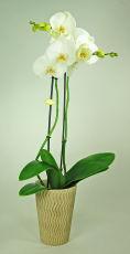 Grande Orchidée Blanche 2 branches - Phalaenopsis Grandiflora