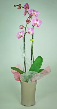 orchidée 2 hampes - PHALAENOPSIS