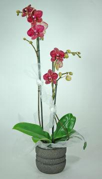 Orchidée Violette 2 branches - Phalaenopsis