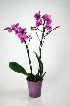 Orchidée Mauve 2 branches - Phalaenopsis