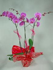 Grandiflora 3 hampes